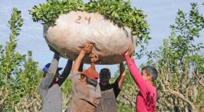 Jorge Pedrozo: una vida de sacrificio y explotación en la yerba mate