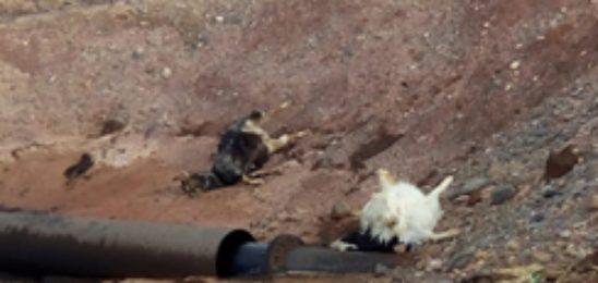 Mendoza: muerte de animales por derrames y gases tóxicos de YPF