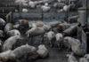 """""""No queremos transformarnos en una factoría de cerdos para China, ni en una fábrica de nuevas pandemias"""""""