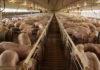 Mega granjas de cerdos = Fábrica de pandemias