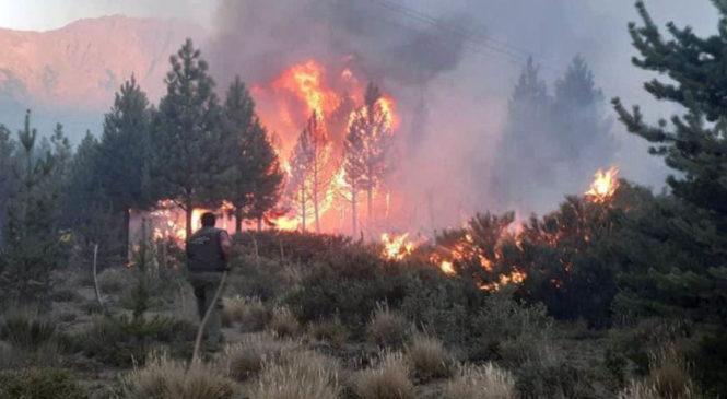 Las plantaciones de pino aceleran la expansión de los incendios forestales