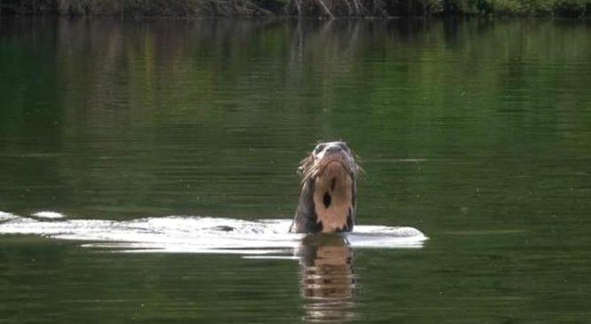 Asombro en El Impenetrable: una nutria gigante en el río Bermejo, la primera en ¿un siglo?
