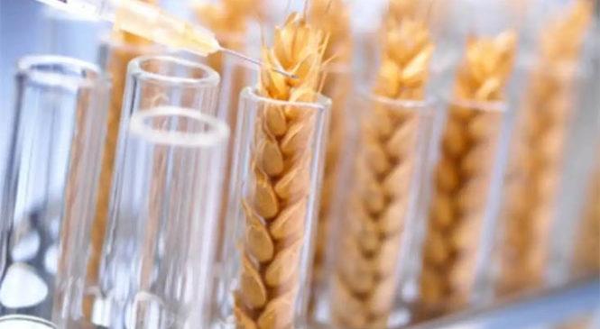 Crece el rechazo al trigo transgénico y una campaña busca revertir la aprobación que le dio el Gobierno